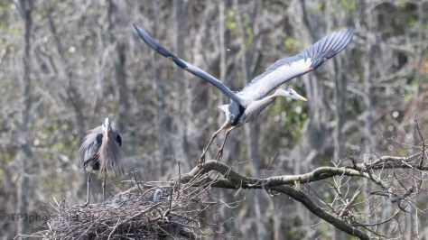 Changing Places, Great Blue Heron