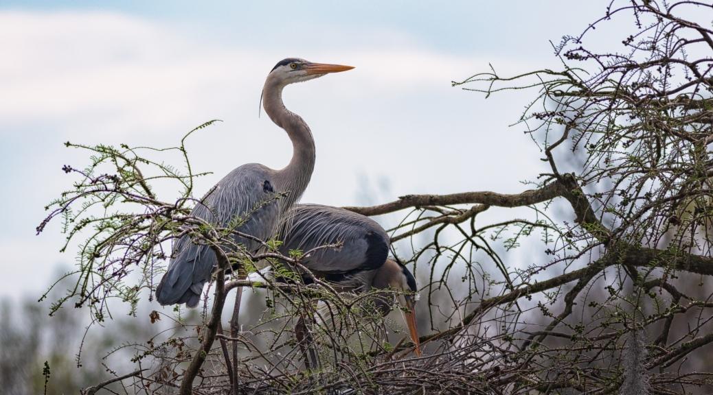 Early Shadows, Great Blue Heron