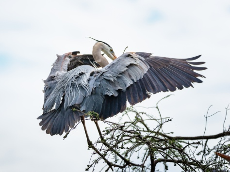 Down To The nest, Great Blue