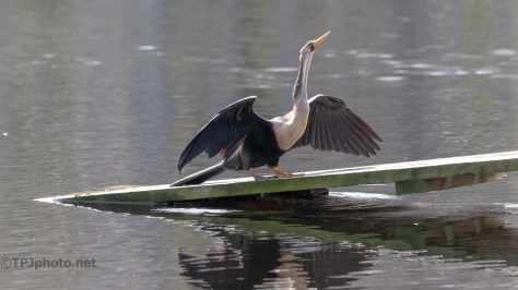 She Almost Fell In, Anhinga