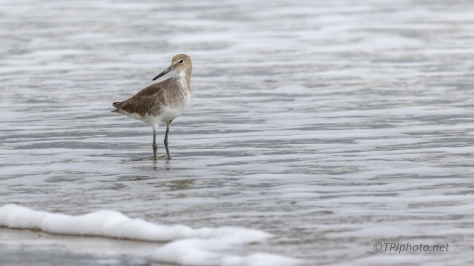 Willet, Walking The Surf
