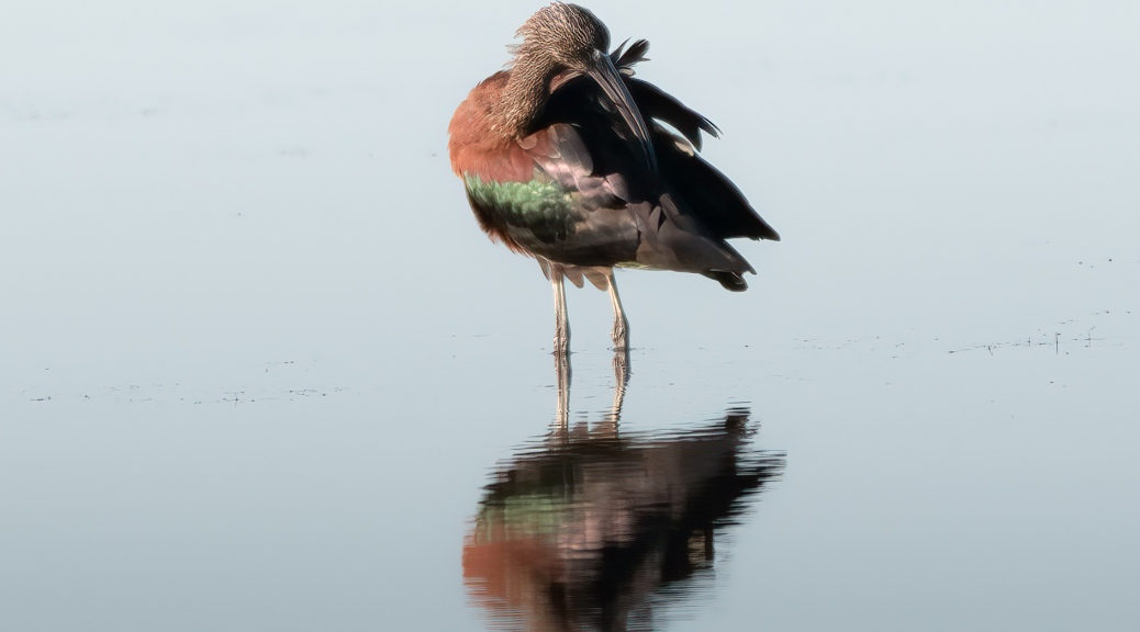 Preening Glossy Ibis