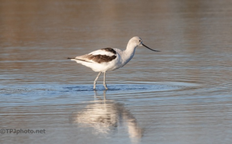 Avocet Slow Serching