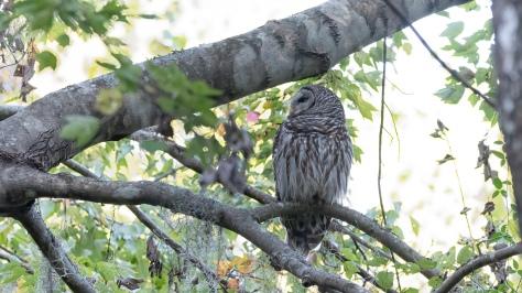 Owl, Four Holes Swamp
