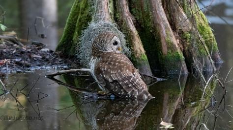 Swamp Owl
