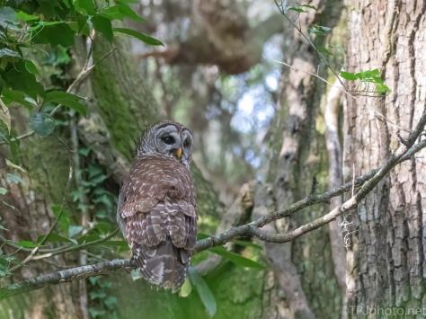 Keeping An Eye On Me, Barred Owl