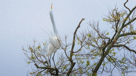 Calling, Great Egret