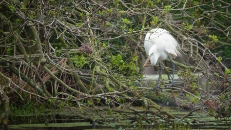 Egret, Not A Great Spot To Be