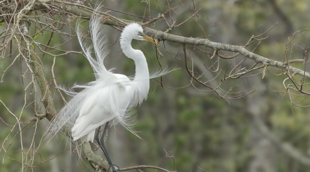 Egret, Dancing With A Stick For A Mate
