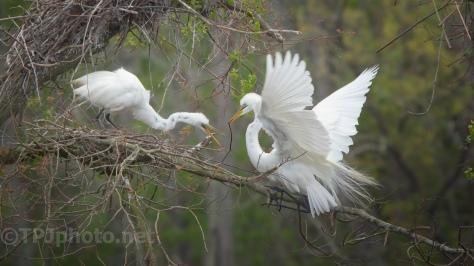 Wrong Nest, Egret