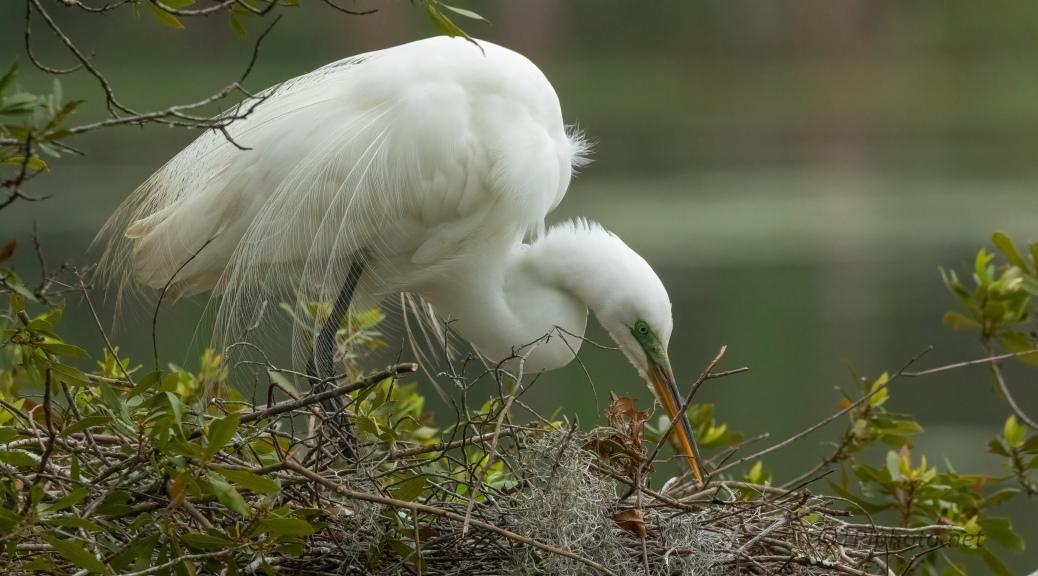 Nesting Great Egret
