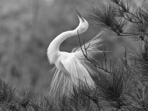 Great Egret Dancing