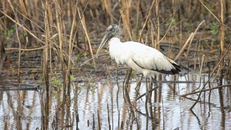 Marsh Wood Stork
