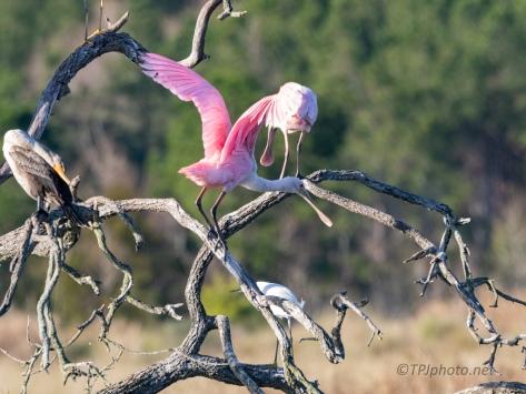 Roseate Spoonbills Bouncing Around