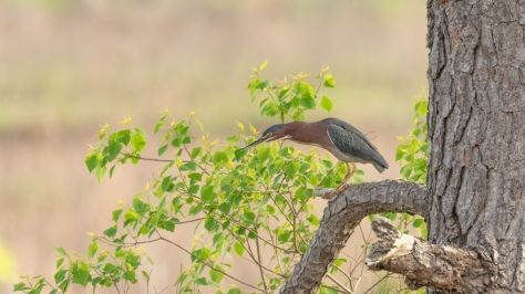 Getting All Worked Up, Green Heron