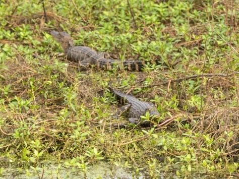 15 In 50 , Alligator