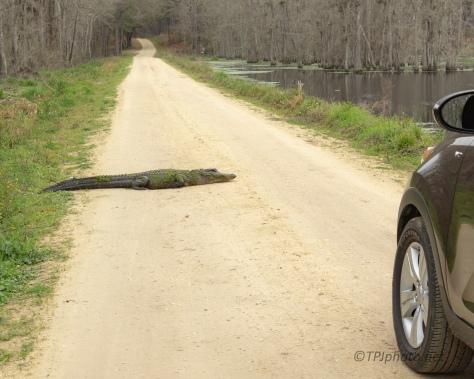 Stubborn Gator