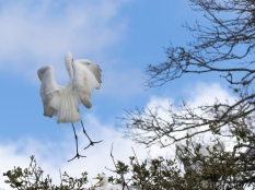 Landing With Style, Great Egret