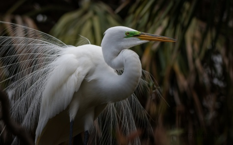Dancing In A Tree, Great Egret