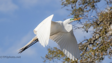 Great Egret, Another Stick For The Nest