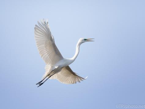 Quick Climb, Great Egret