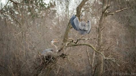 Heron Returns To Rookery