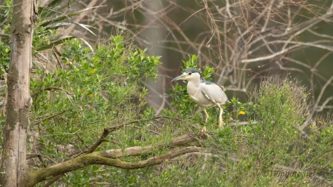 Shy Night Heron