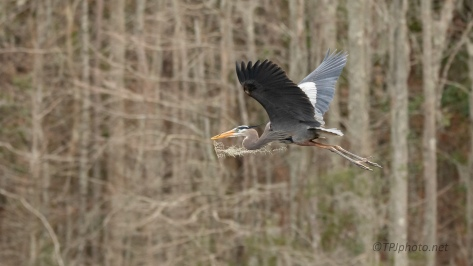 Great Blue, Gathering Nest Materials