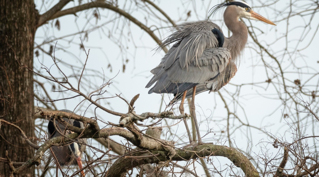 In A Rookery, Great Blue Heron