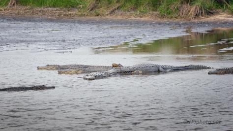 Getting Warm, Alligator