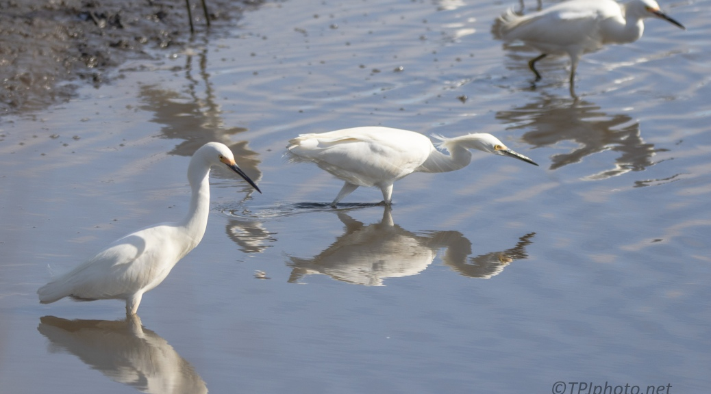 Snowy Egret, Gathering At A Marsh