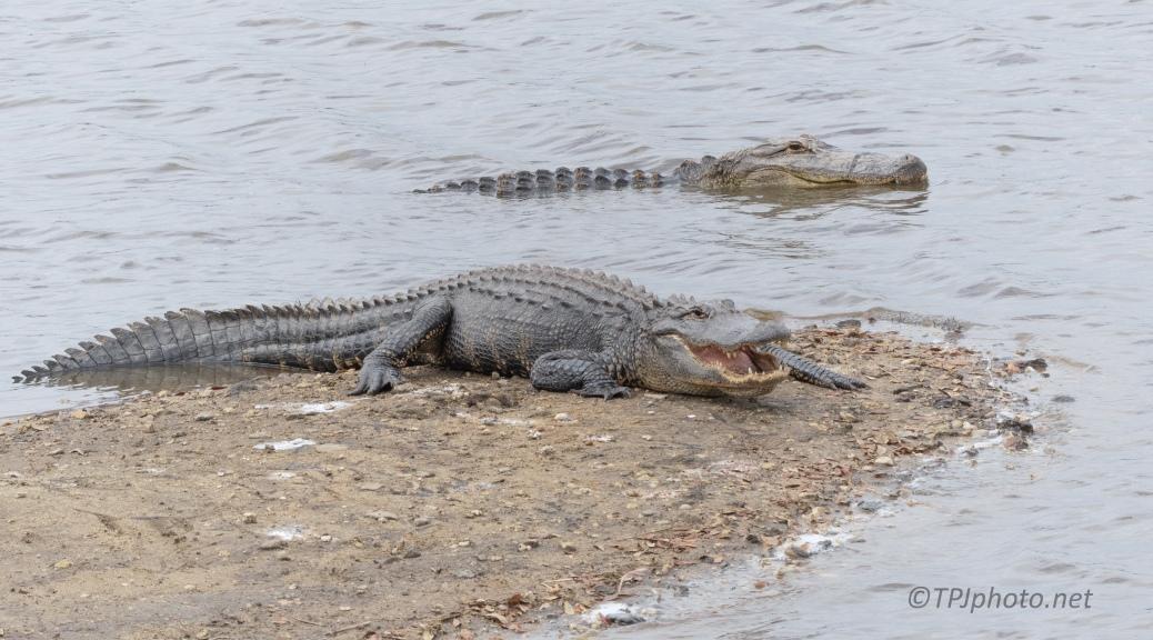 Taking Portraits, Alligator