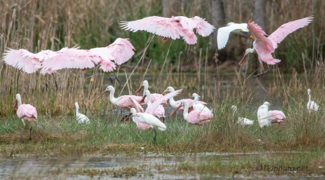 A Pink Parade, Spoonbill