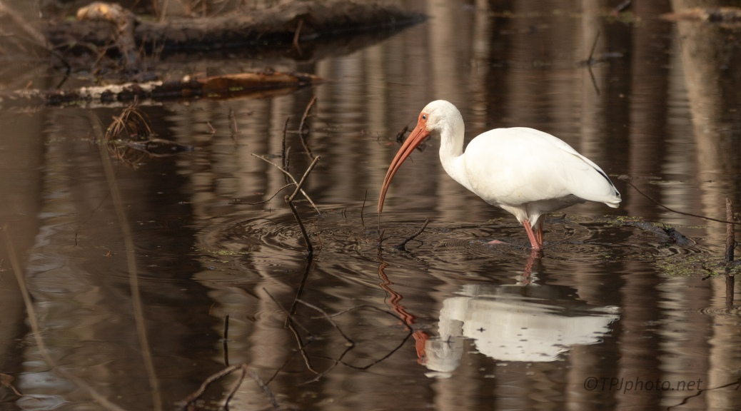 White Ibis - Dark Swamp