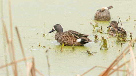 Blue-winged Teal And The Duck Weed