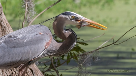 A Good Catch, Great Blue