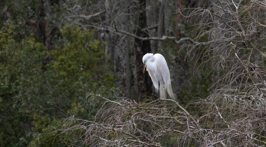 Evening, Great Egret