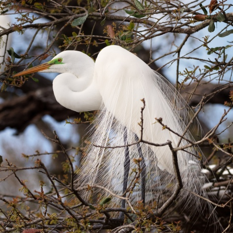 Bridal Feathers Of An Egret