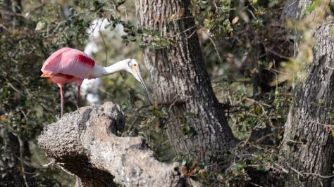 Gathering Nest Sticks, Roseate Spoonbill
