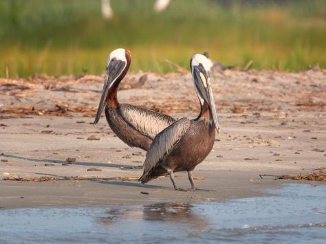 Pelican At Bird Key