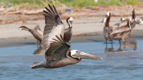 Pelican At Bird Key