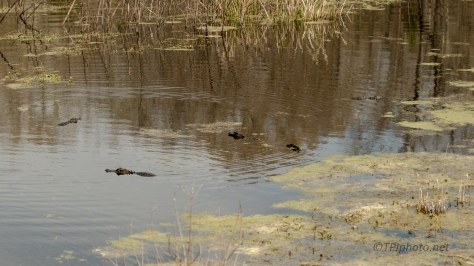More Than A Few On A Walk, Alligator