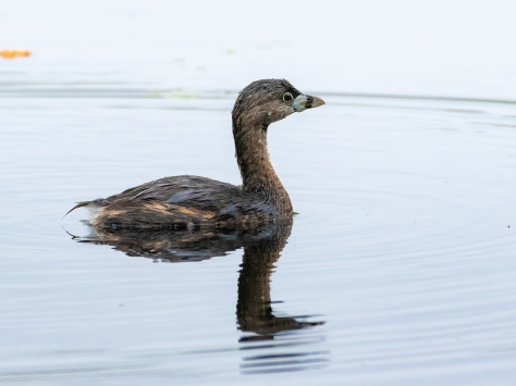 Pied-billed Grebe I Surprised