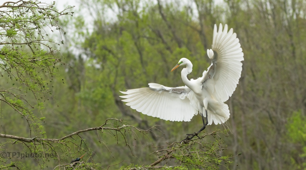 Great Egret Making An Entrance