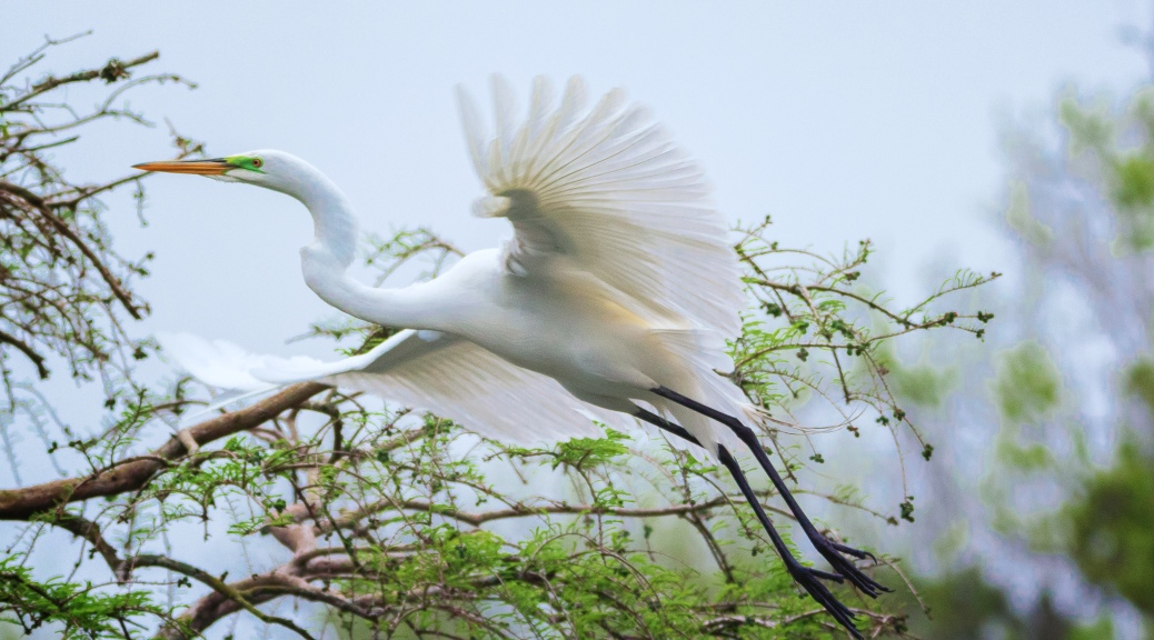 A Flash, Egret