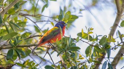 A Painted Bunting