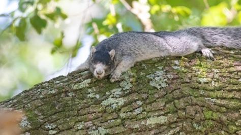 Fox Squirrel, Southern Variation