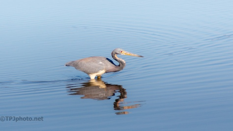 Tricolored Heron Going By