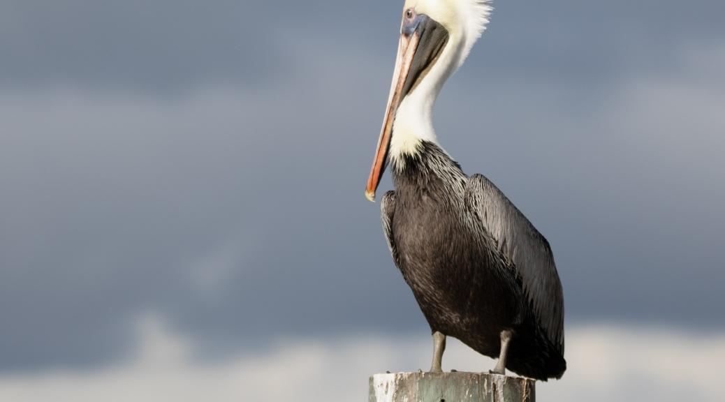 Stormy Brown Pelican