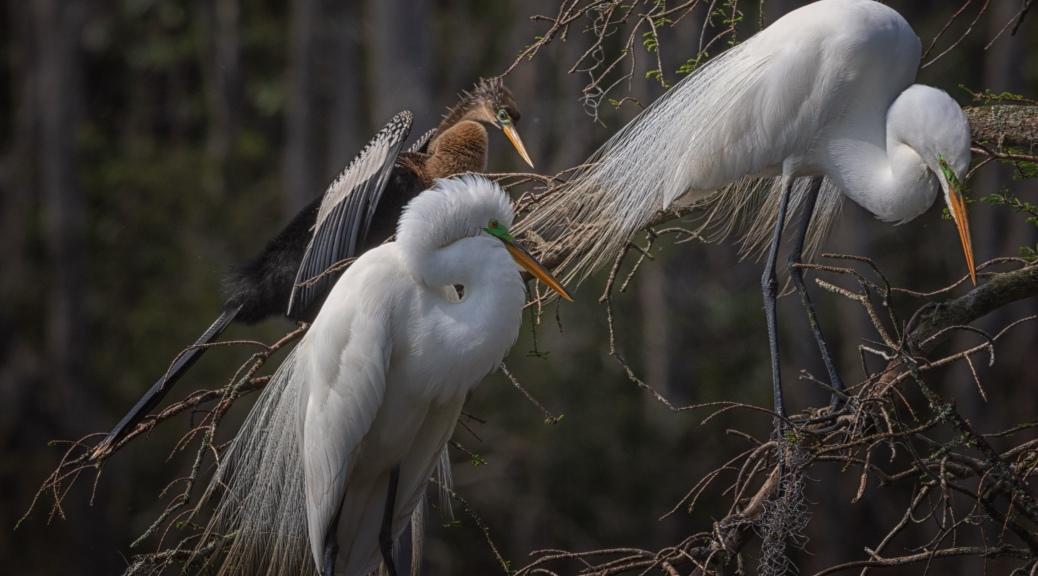 Sharing Space, Egret - Anhinga